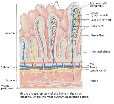 illustration of the lining in the small intestine