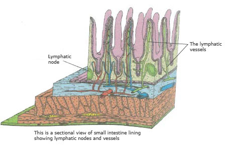 illustration of small intestine lining