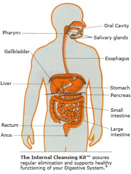illustration of the Colon and Digestive System