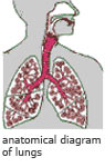 anatomical diagram of lungs